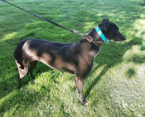 Pixie 2 Greyhound