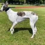 Stephen Greyhound