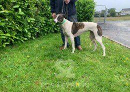 Suzy 3 Greyhound