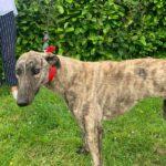 Suzy 4 Greyhound
