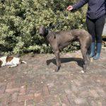 Maxie Greyhound