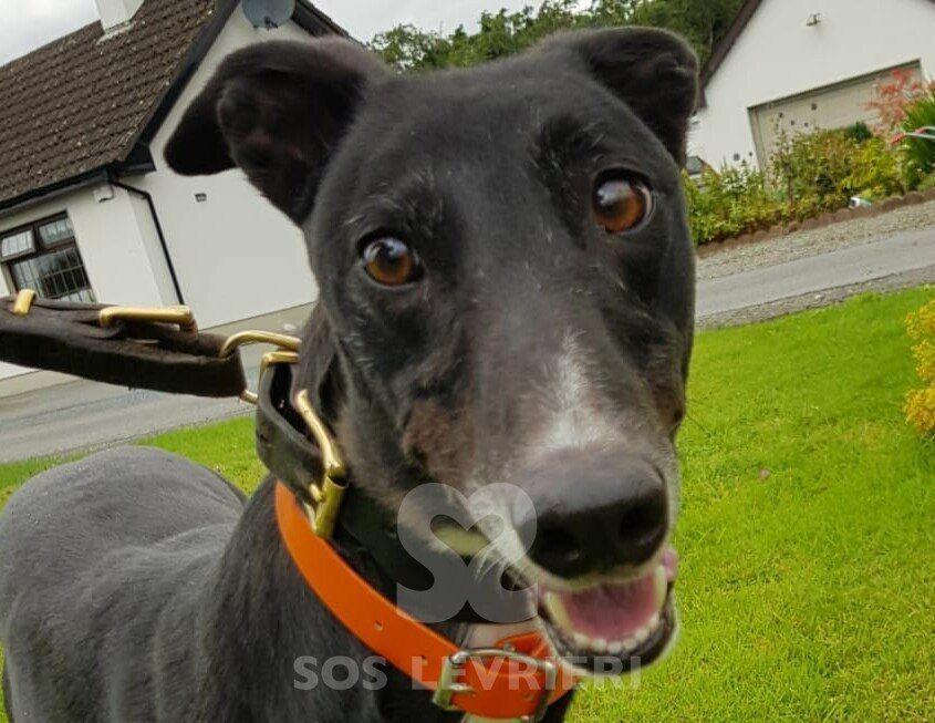 Rafa Greyhound