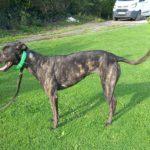 Wendy 2 Greyhound