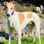 Goldie 2 Greyhound