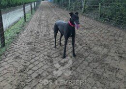 Maisie Greyhound
