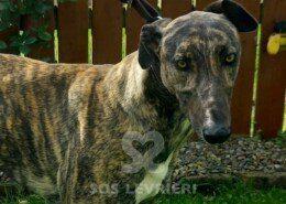 Scoby Greyhound